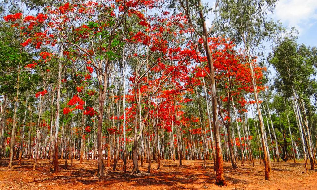 Eukalyptus Bäume Foto Holz
